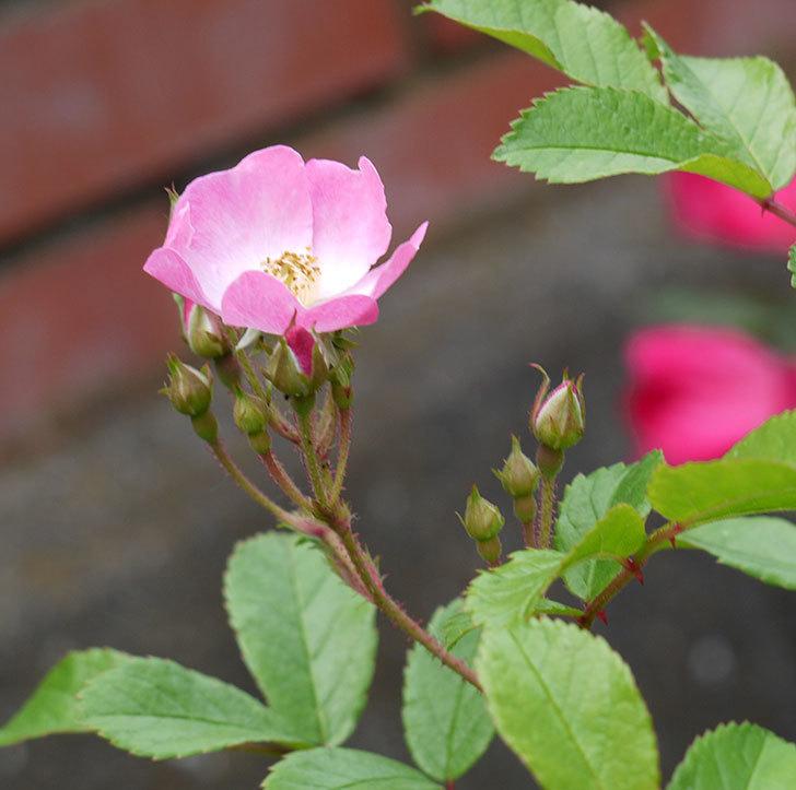 バレリーナ(ツルバラ)が咲きだした。2017年-1.jpg