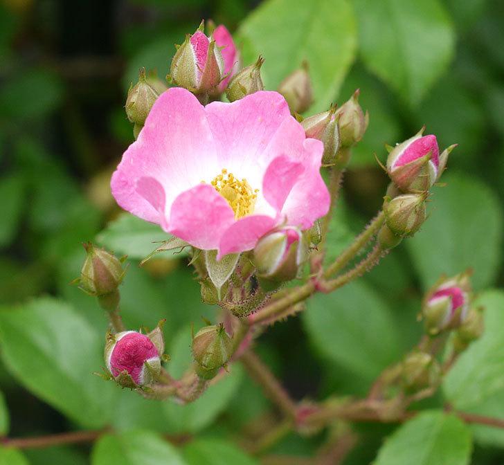 バレリーナ(ツルバラ)が咲きだした。2017年-3.jpg