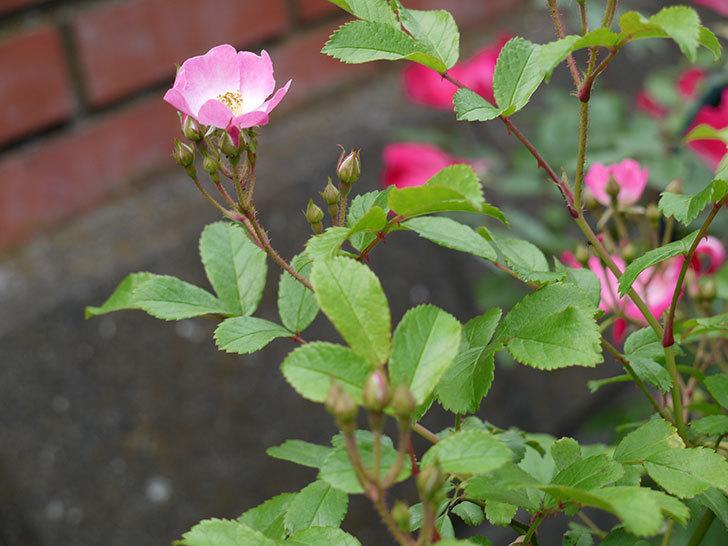 バレリーナ(ツルバラ)が咲きだした。2017年-5.jpg
