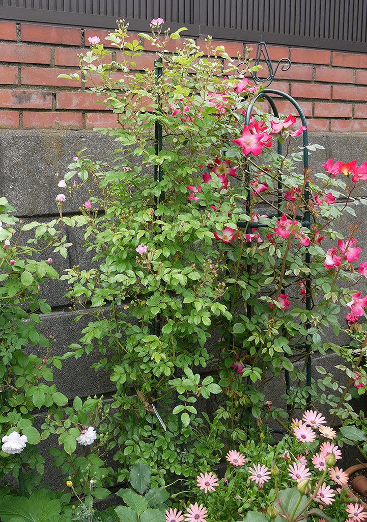 バレリーナ(ツルバラ)が咲きだした。2017年-6.jpg