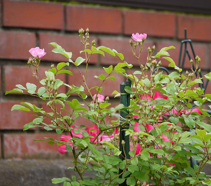 バレリーナ(ツルバラ)が咲きだした。2017年-7.jpg
