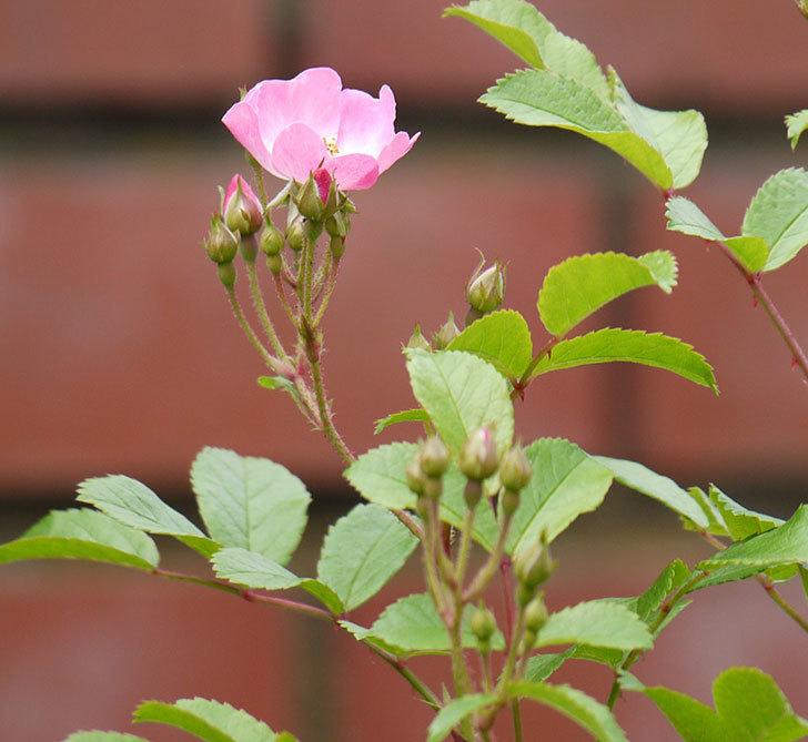 バレリーナ(ツルバラ)が咲きだした。2017年-8.jpg