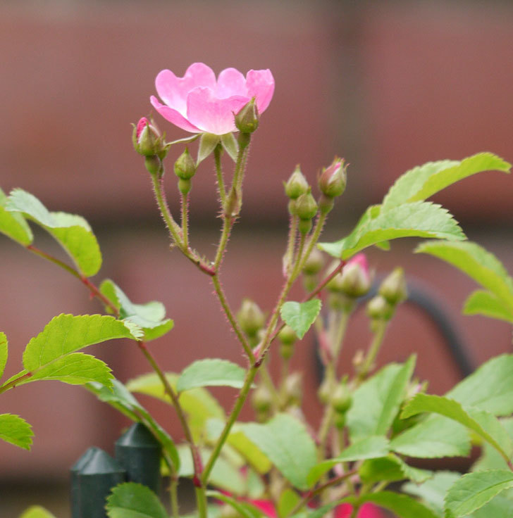 バレリーナ(ツルバラ)が咲きだした。2017年-9.jpg