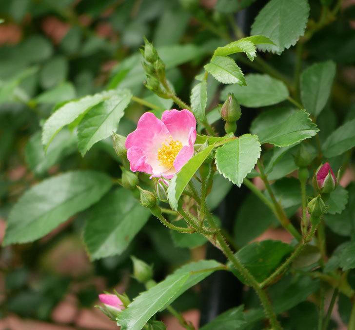 バレリーナ(ツルバラ)が咲きだした。2019年-1.jpg