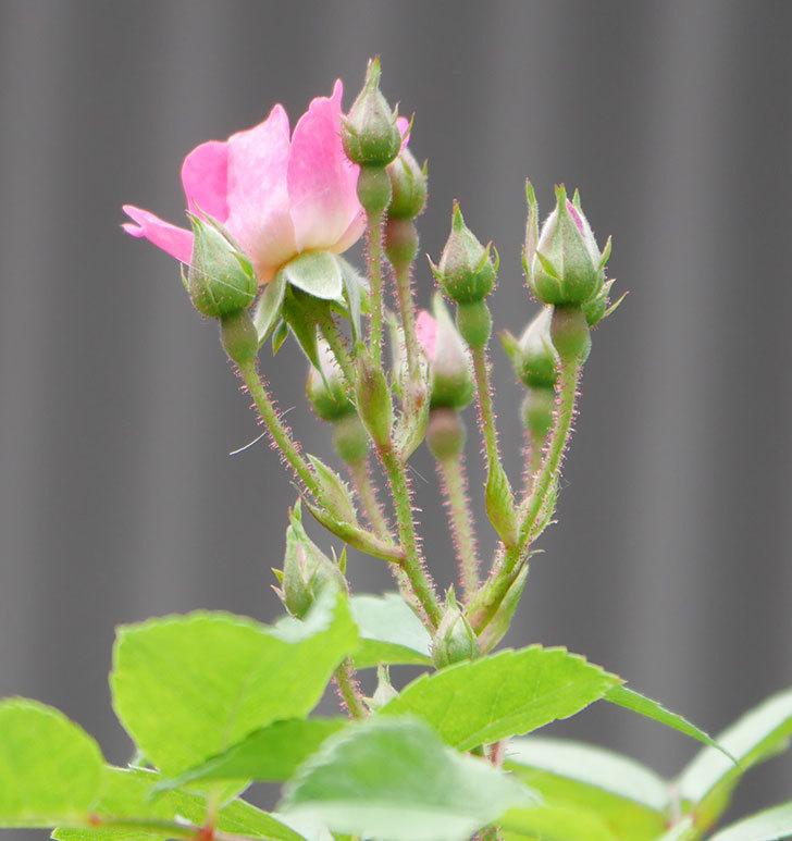 バレリーナ(ツルバラ)が咲きだした。2019年-3.jpg