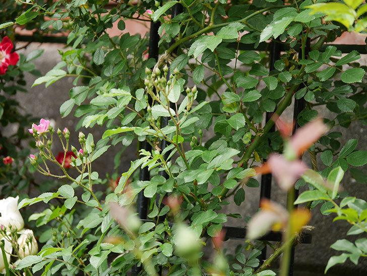 バレリーナ(ツルバラ)が咲きだした。2019年-4.jpg