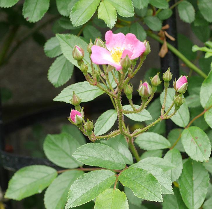 バレリーナ(ツルバラ)が咲きだした。2019年-5.jpg
