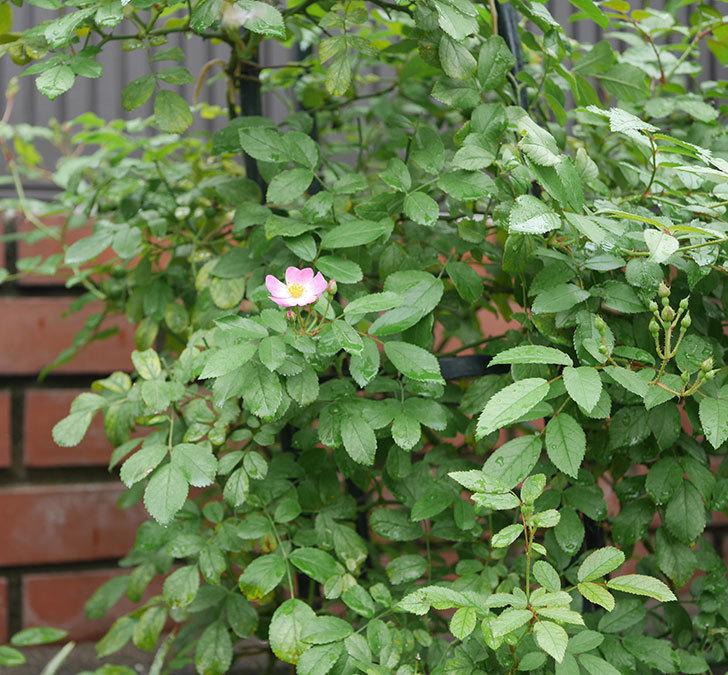 バレリーナ(ツルバラ)の2番花が1個咲いた。2019年-2.jpg