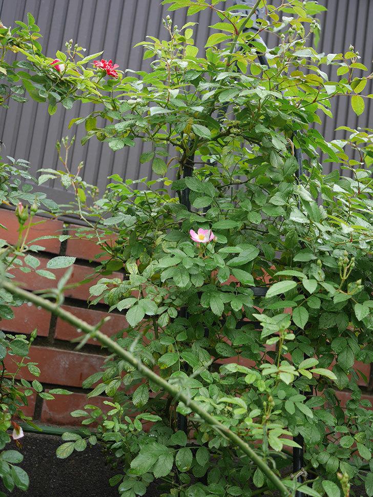 バレリーナ(ツルバラ)の2番花が1個咲いた。2019年-3.jpg