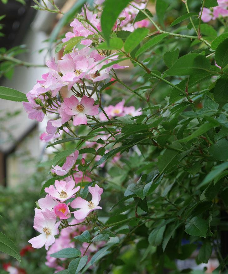 バレリーナ(ツルバラ)の2番花がたくさん咲いた。2019年-1.jpg