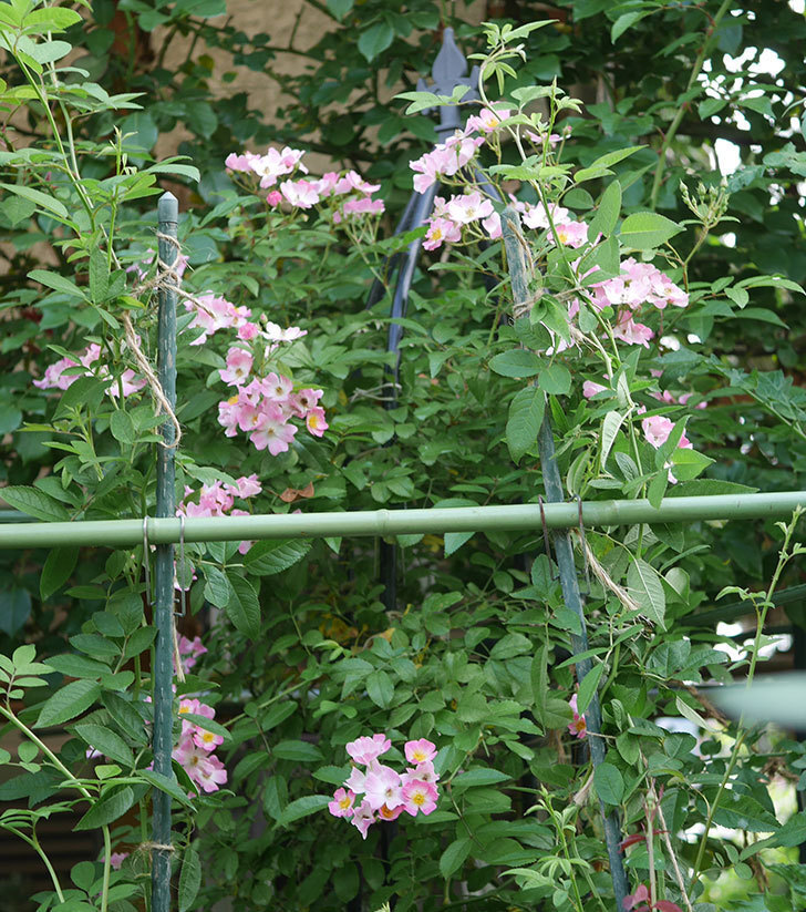 バレリーナ(ツルバラ)の2番花がたくさん咲いた。2019年-2.jpg