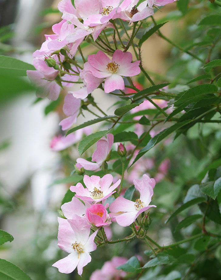 バレリーナ(ツルバラ)の2番花がたくさん咲いた。2019年-3.jpg