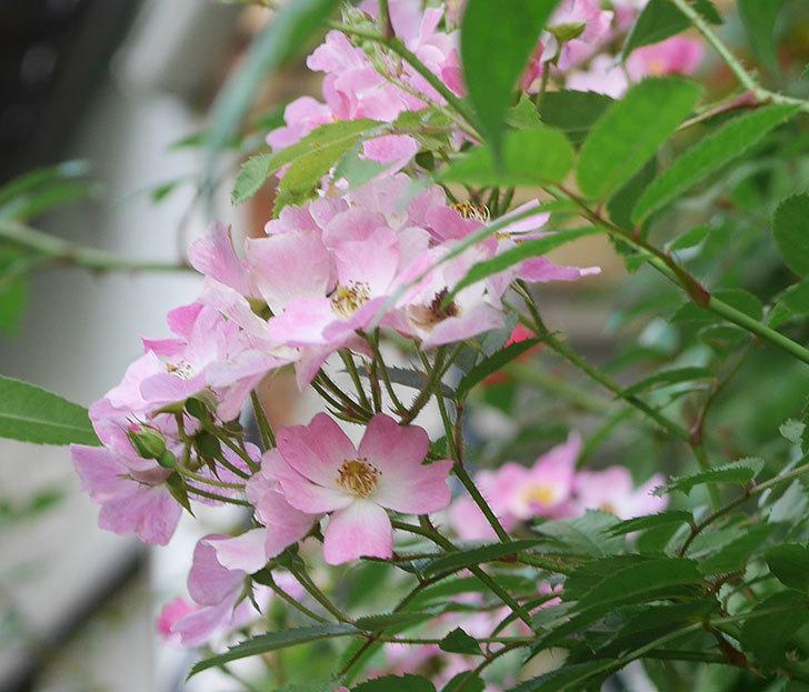 バレリーナ(ツルバラ)の2番花がたくさん咲いた。2019年-4.jpg