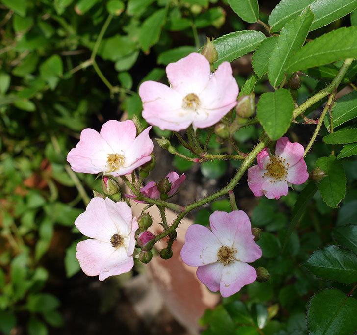 バレリーナ(ツルバラ)の2番花が咲いた。2017年-1.jpg