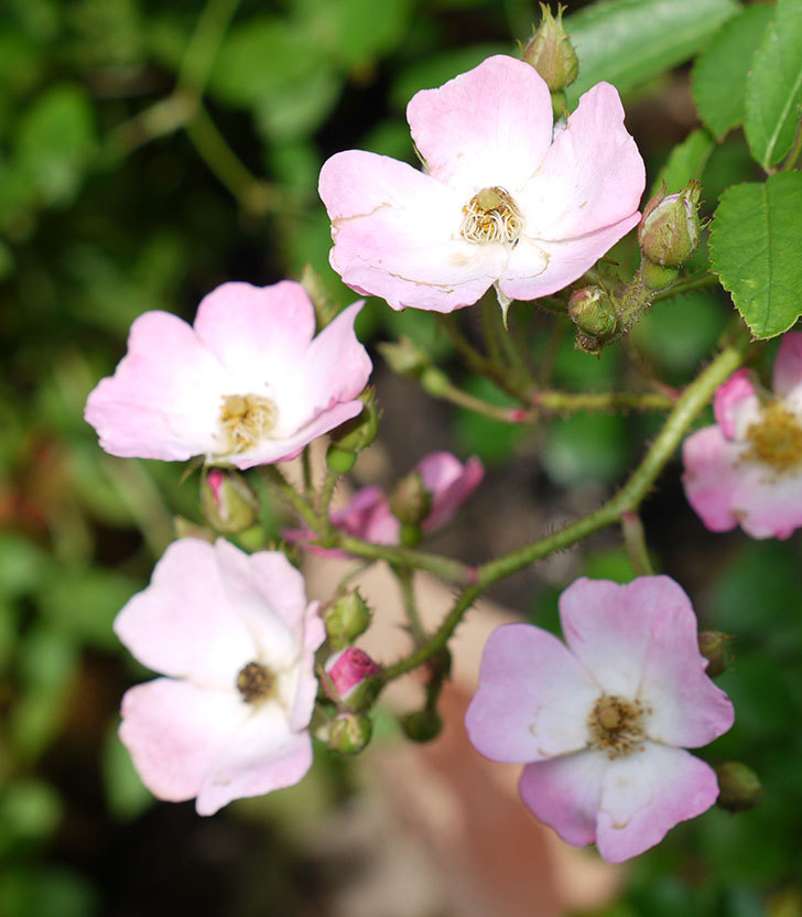 バレリーナ(ツルバラ)の2番花が咲いた。2017年-2.jpg