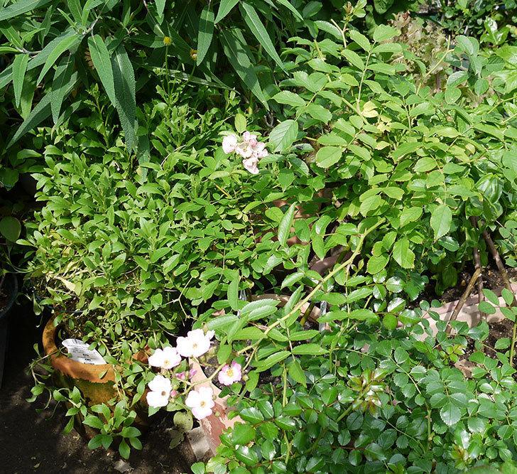 バレリーナ(ツルバラ)の2番花が咲いた。2017年-3.jpg