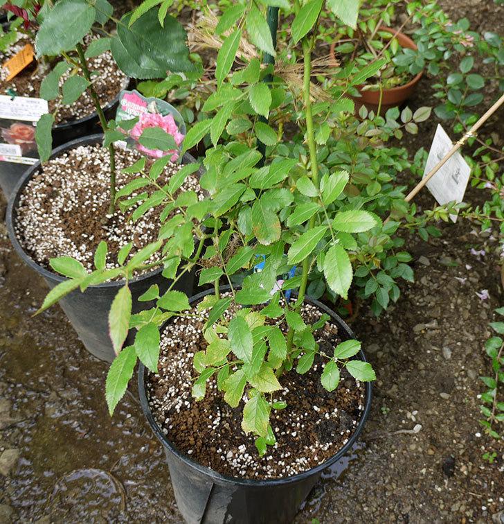 バレリーナ(ツルバラ)の新苗を8号のEUロングスリット鉢に鉢増しした。2016年-1.jpg