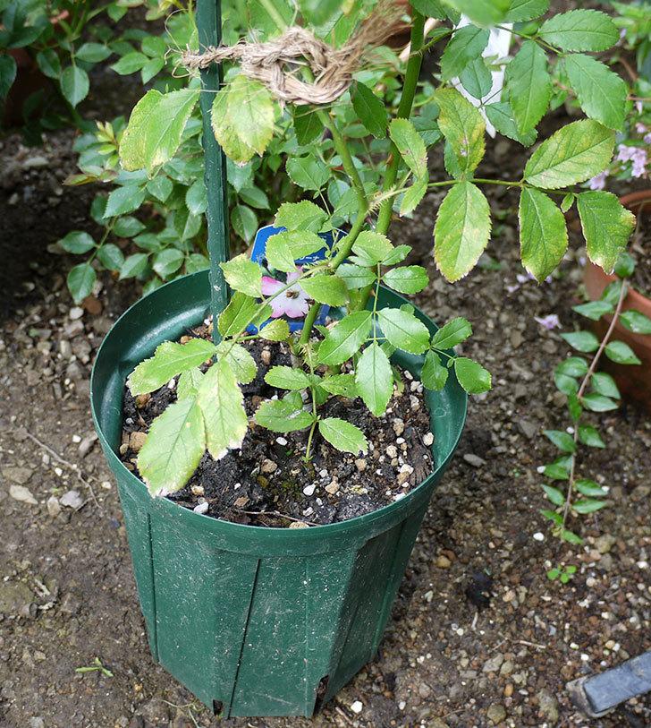 バレリーナ(ツルバラ)の新苗を8号のEUロングスリット鉢に鉢増しした。2016年-2.jpg