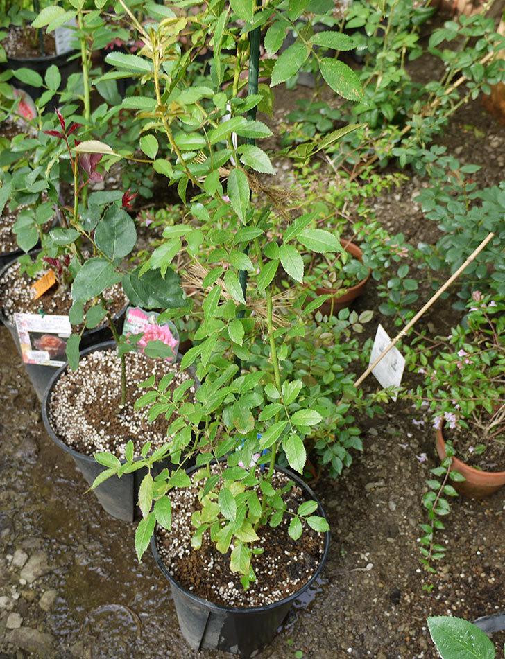 バレリーナ(ツルバラ)の新苗を8号のEUロングスリット鉢に鉢増しした。2016年-7.jpg