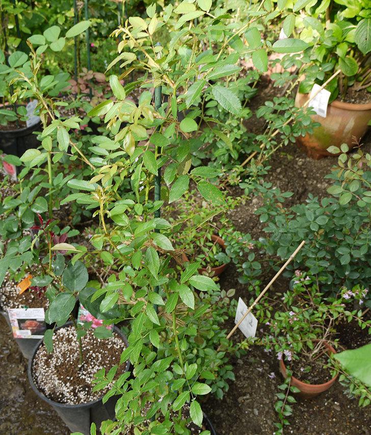 バレリーナ(ツルバラ)の新苗を8号のEUロングスリット鉢に鉢増しした。2016年-8.jpg