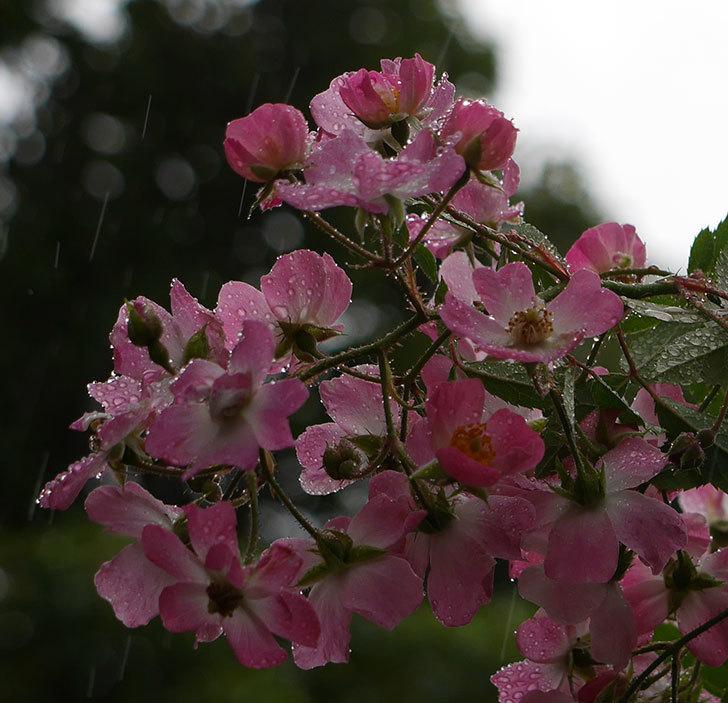 バレリーナ(ツルバラ)の秋花が咲いた。2017年-2.jpg