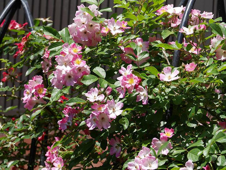 バレリーナ(ツルバラ)の花がたくさん咲いた。2019年-1.jpg