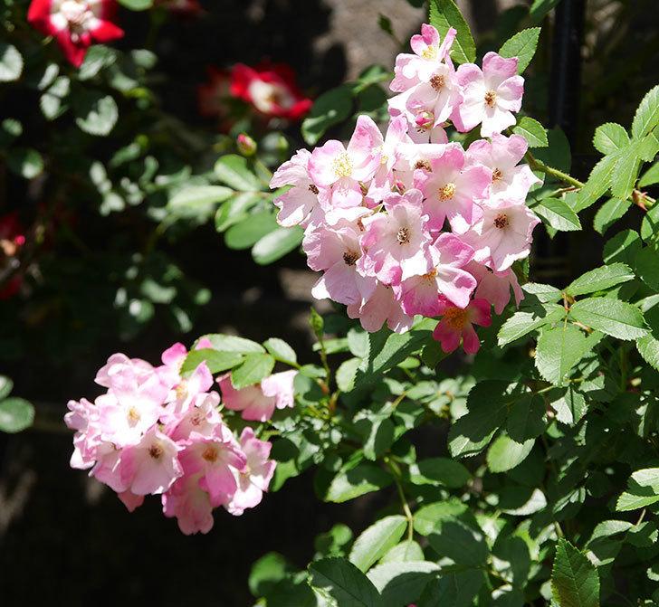 バレリーナ(ツルバラ)の花がたくさん咲いた。2019年-2.jpg
