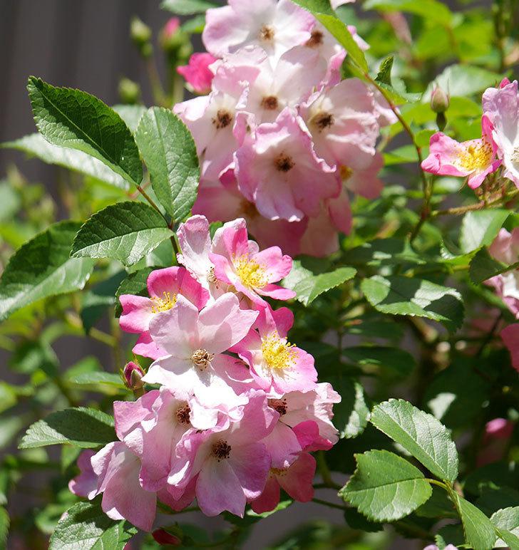 バレリーナ(ツルバラ)の花がたくさん咲いた。2019年-4.jpg