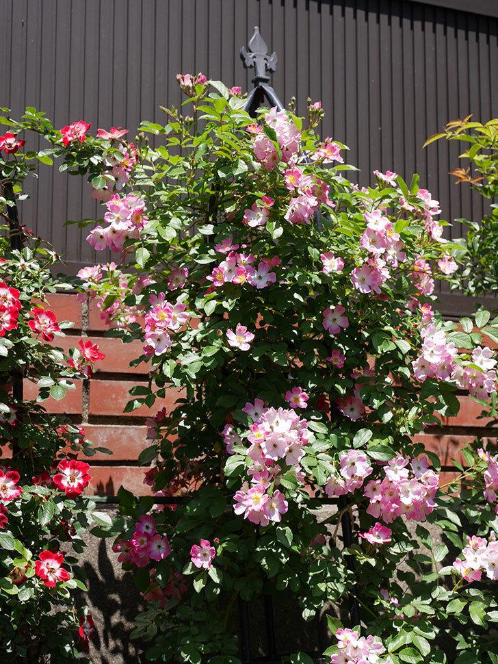 バレリーナ(ツルバラ)の花がたくさん咲いた。2019年-5.jpg