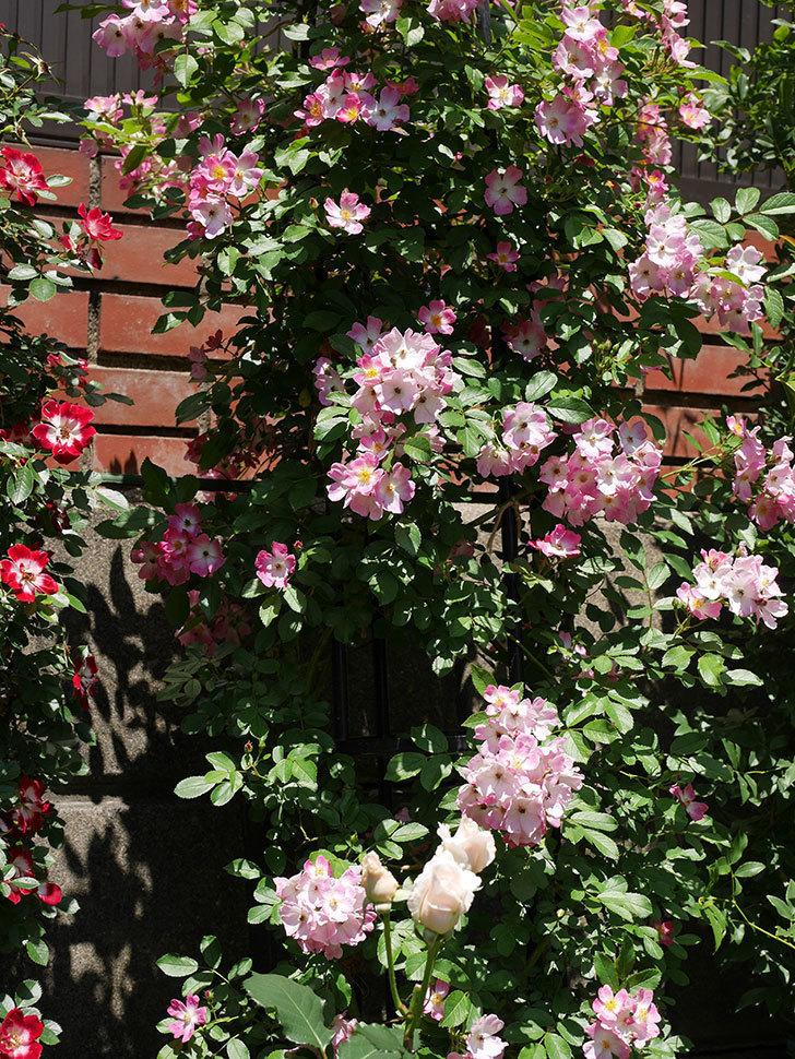バレリーナ(ツルバラ)の花がたくさん咲いた。2019年-6.jpg