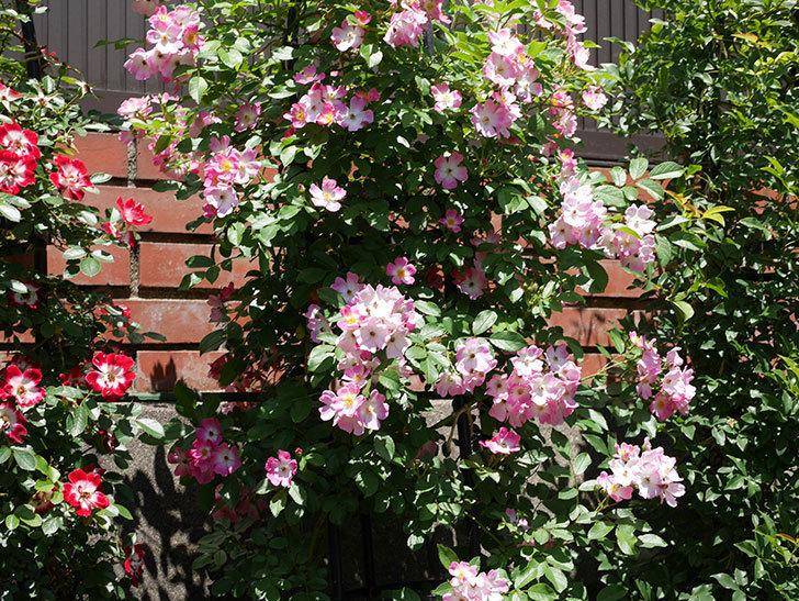 バレリーナ(ツルバラ)の花がたくさん咲いた。2019年-7.jpg