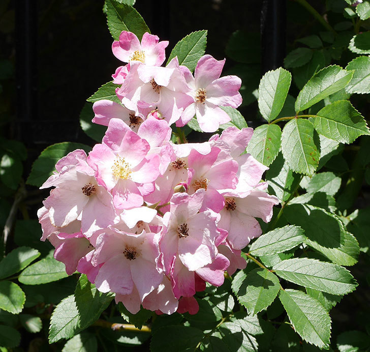バレリーナ(ツルバラ)の花がたくさん咲いた。2019年-9.jpg