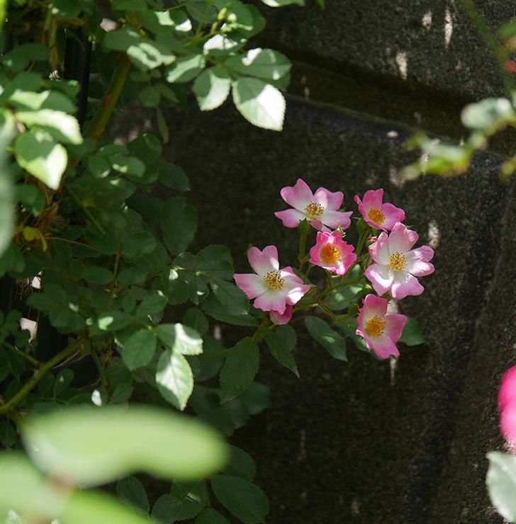 バレリーナ(ツルバラ)の花が咲いた。2018年-2.jpg