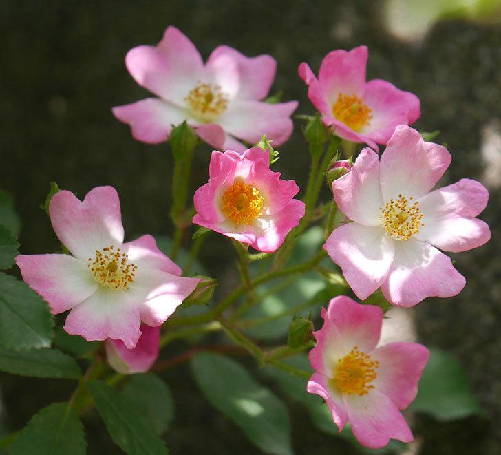 バレリーナ(ツルバラ)の花が咲いた。2018年-3.jpg