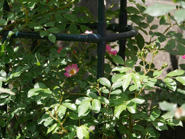 バレリーナ(ツルバラ)の花が咲いた。2018年-4.jpg