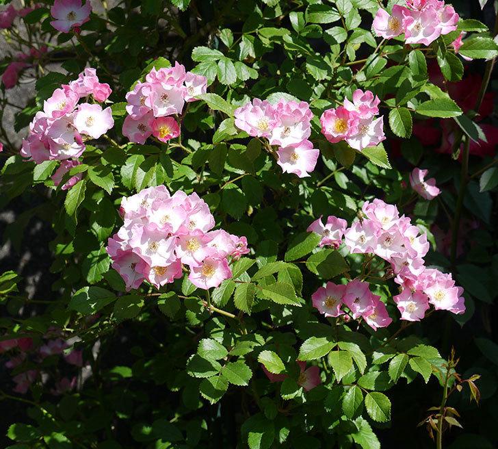 バレリーナ(ツルバラ)の花が増えてきた。2017年-1.jpg