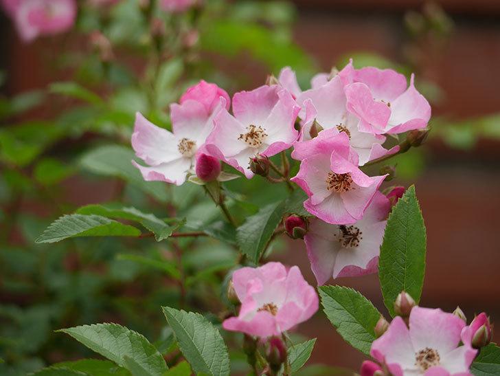 バレリーナ(ツルバラ)の花が増えてきた。2018年-4.jpg
