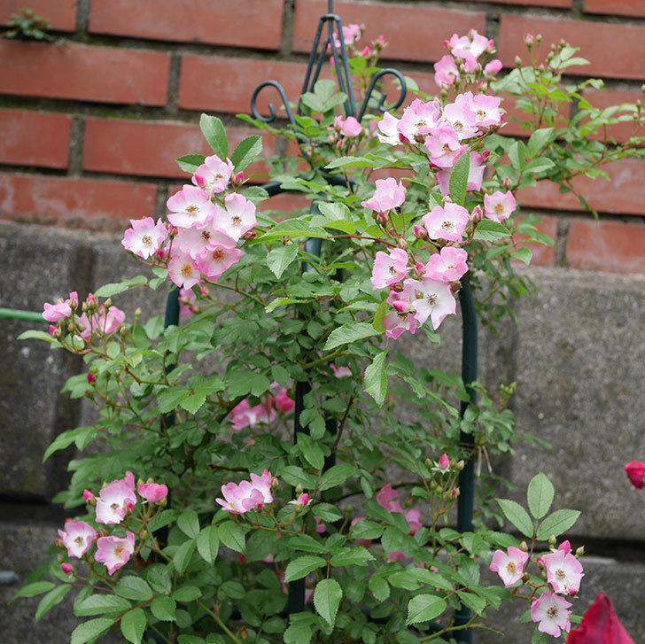 バレリーナ(ツルバラ)の花が増えてきた。2018年-5.jpg
