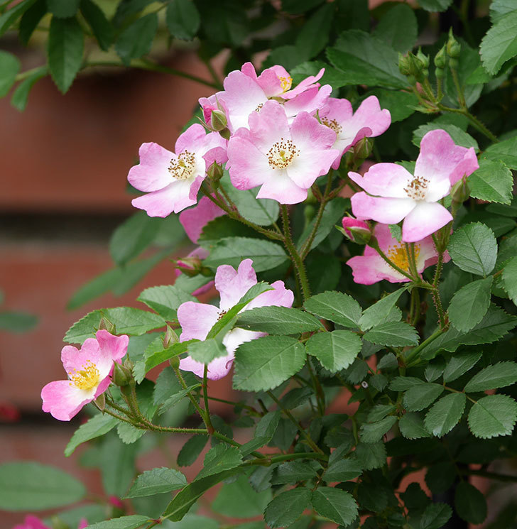 バレリーナ(ツルバラ)の花が増えて来た。2019年-11.jpg