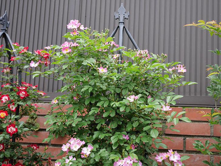 バレリーナ(ツルバラ)の花が増えて来た。2019年-2.jpg