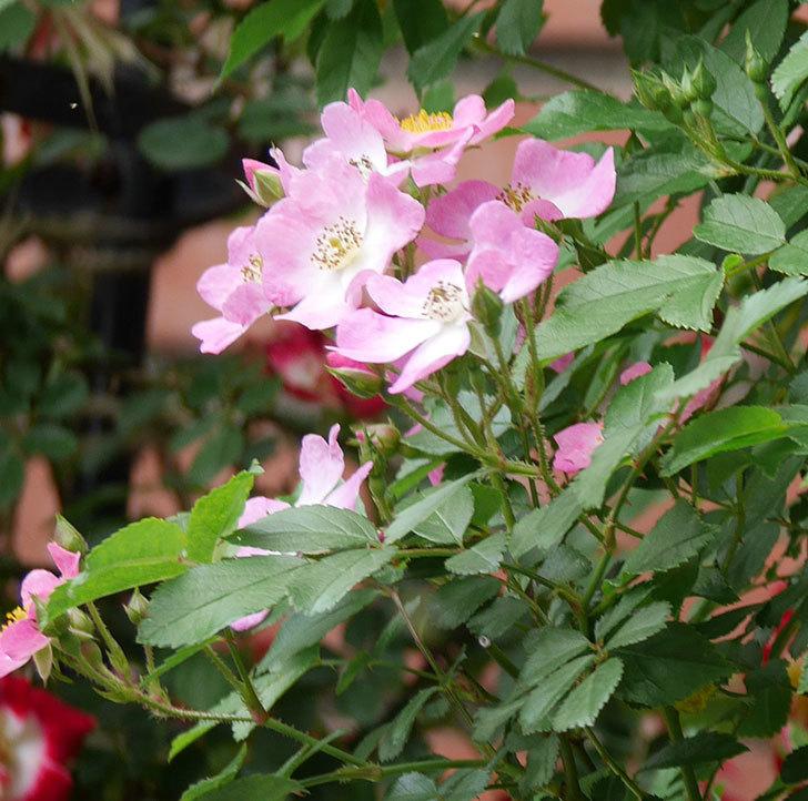 バレリーナ(ツルバラ)の花が増えて来た。2019年-5.jpg