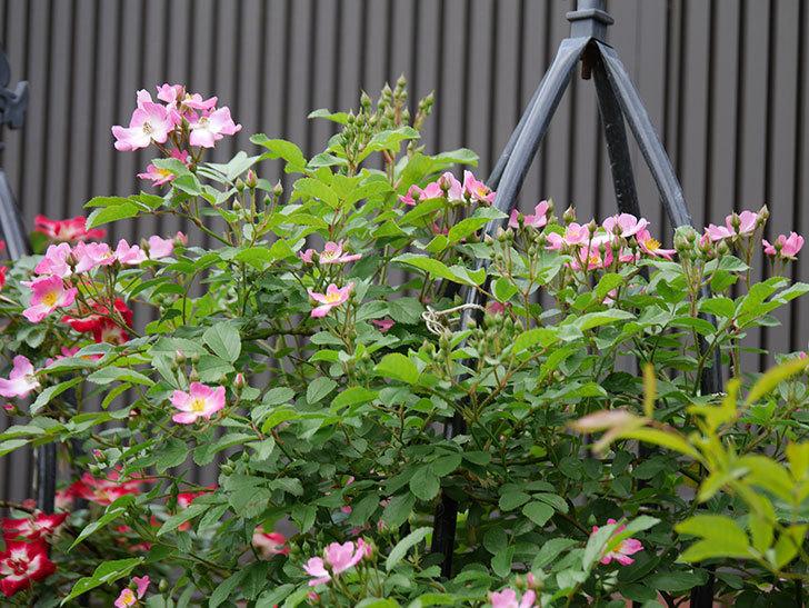 バレリーナ(ツルバラ)の花が増えて来た。2019年-6.jpg