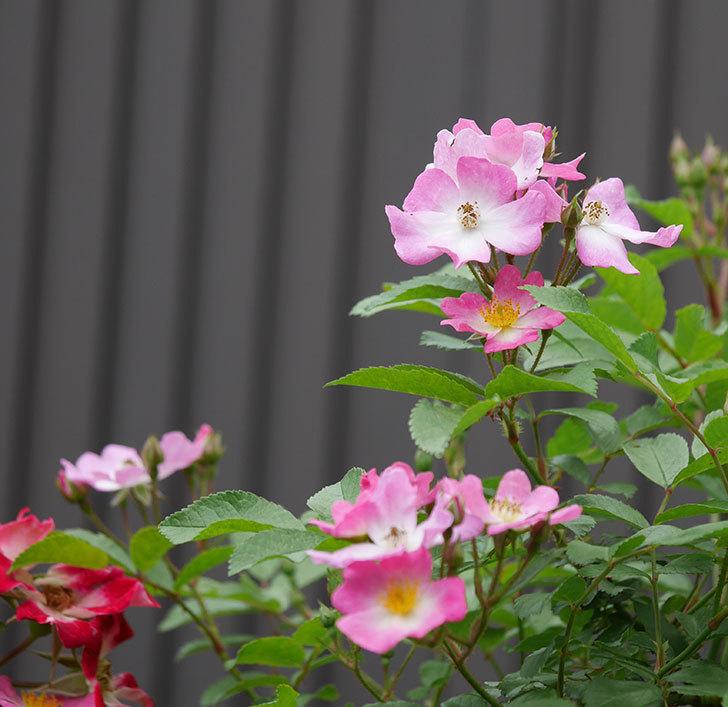 バレリーナ(ツルバラ)の花が増えて来た。2019年-8.jpg