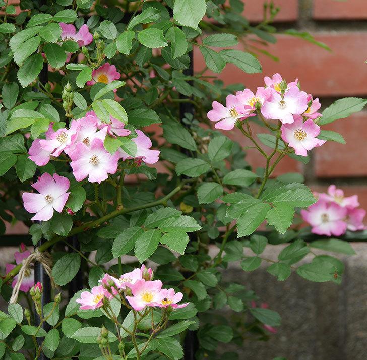 バレリーナ(ツルバラ)の花が増えて来た。2019年-9.jpg