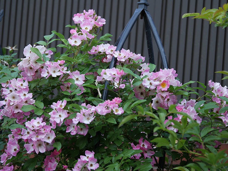 バレリーナ(ツルバラ)の花が満開になった。2019年-6.jpg