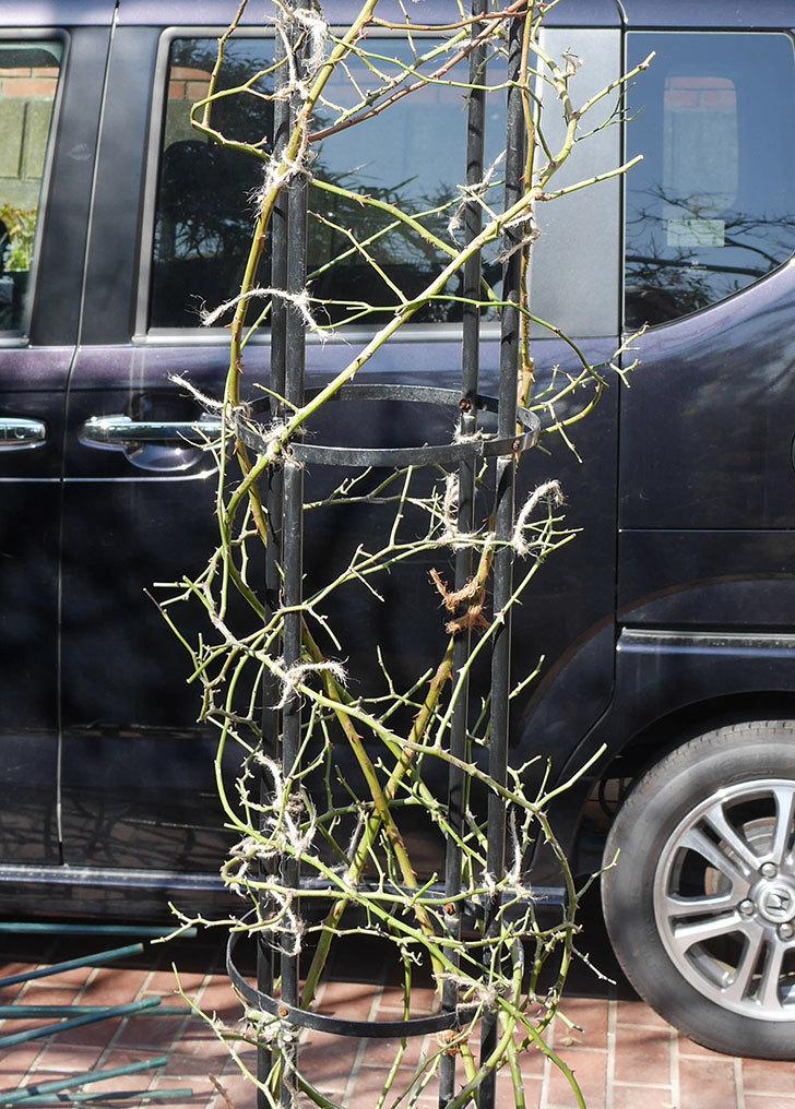 バレリーナ(ツルバラ)の鉢植えをオベリスクに誘引した。2019年-1.jpg