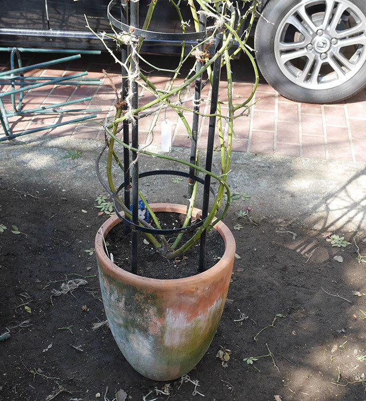 バレリーナ(ツルバラ)の鉢植えをオベリスクに誘引した。2019年-11.jpg