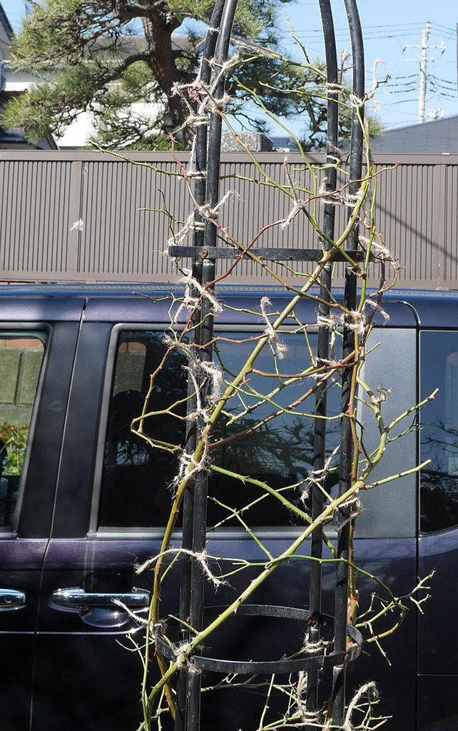 バレリーナ(ツルバラ)の鉢植えをオベリスクに誘引した。2019年-9.jpg