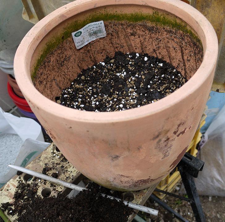バレリーナ(ツルバラ)を鉢に植えた。2017年-4.jpg