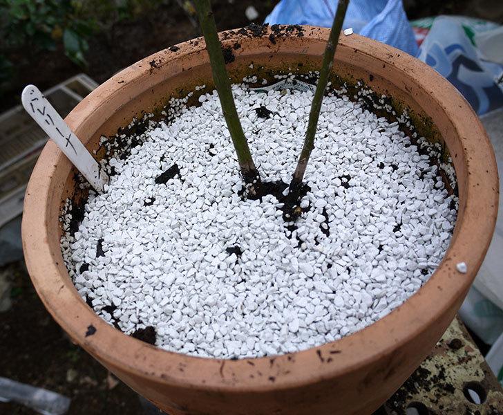 バレリーナ(ツルバラ)を鉢に植えた。2017年-6.jpg